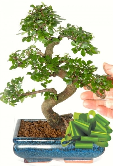 Yaklaşık 25 cm boyutlarında S bonsai  Antalya Melisa çiçek siparişi sitesi