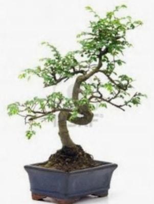 S gövde bonsai minyatür ağaç japon ağacı  Antalya Melisa çiçek satışı