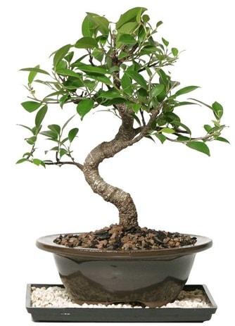 Altın kalite Ficus S bonsai  Antalya Melisa çiçekçi telefonları  Süper Kalite
