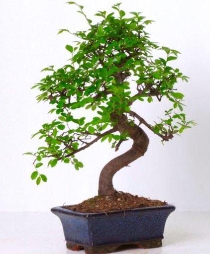 S gövdeli bonsai minyatür ağaç japon ağacı  Antalya Melisa çiçek gönderme sitemiz güvenlidir