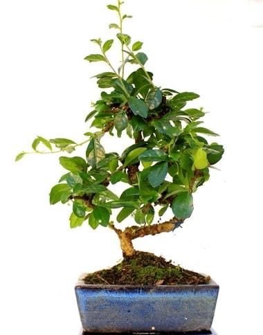 S gövdeli carmina bonsai ağacı  Antalya Melisa çiçek yolla  Minyatür ağaç