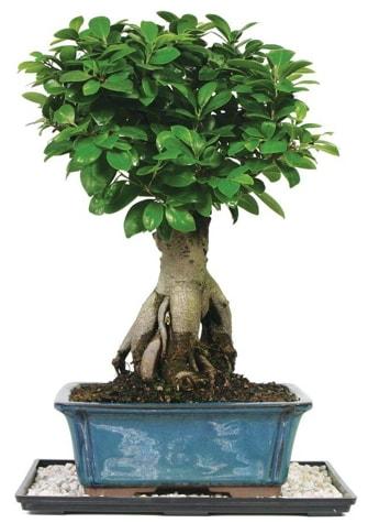 Bonsai Ginsing Grafted Ficus Bonsai  Antalya Melisa çiçek yolla
