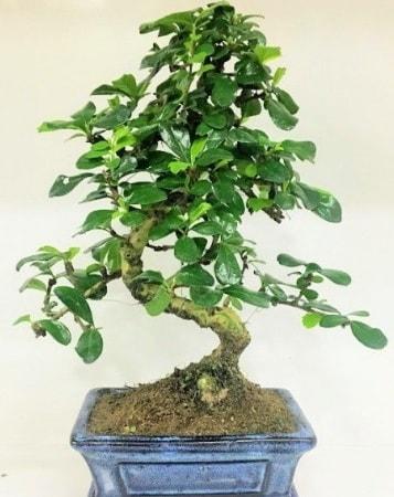 Zelkova S gövdeli Minyatür ağaç Bonzai  Antalya Melisa çiçek gönderme