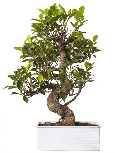 Exotic Green S Gövde 6 Year Ficus Bonsai  Antalya Melisa çiçek gönderme sitemiz güvenlidir