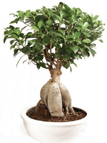 Ginseng bonsai japon ağacı ficus ginseng  Antalya Melisa Melisa İnternetten çiçek siparişi