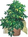 Antalya Melisa internetten çiçek siparişi  Schefflera gold